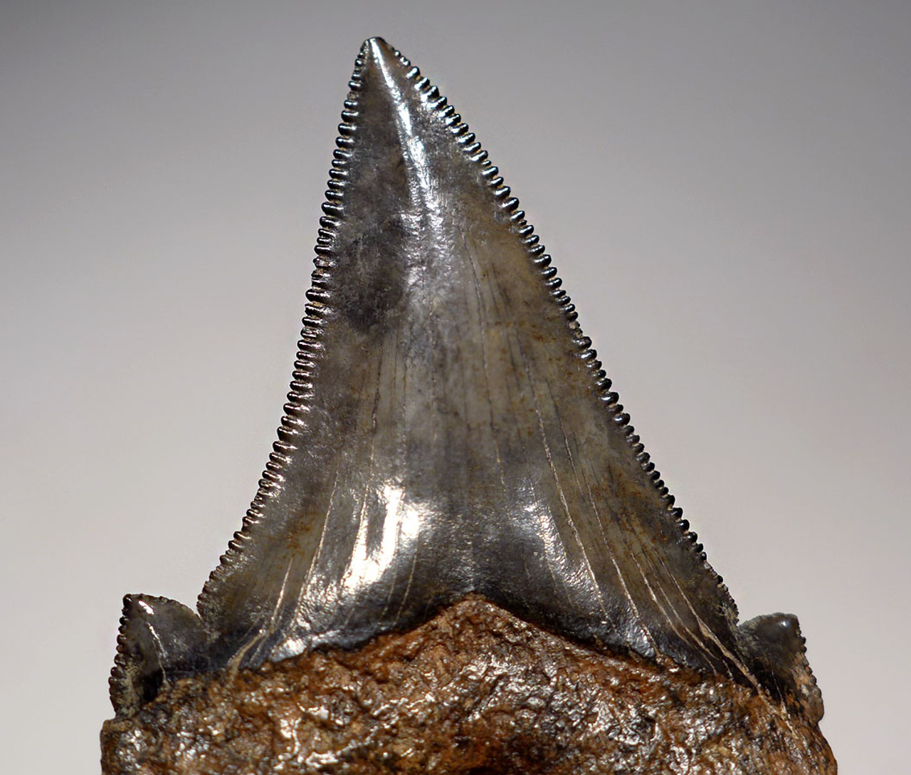 SHX051 - COLLECTOR GRADE CARCHAROCLES ANGUSTIDENS FOSSIL SHARK TOOTH WITH AMAZING MOTTLED ENAMEL