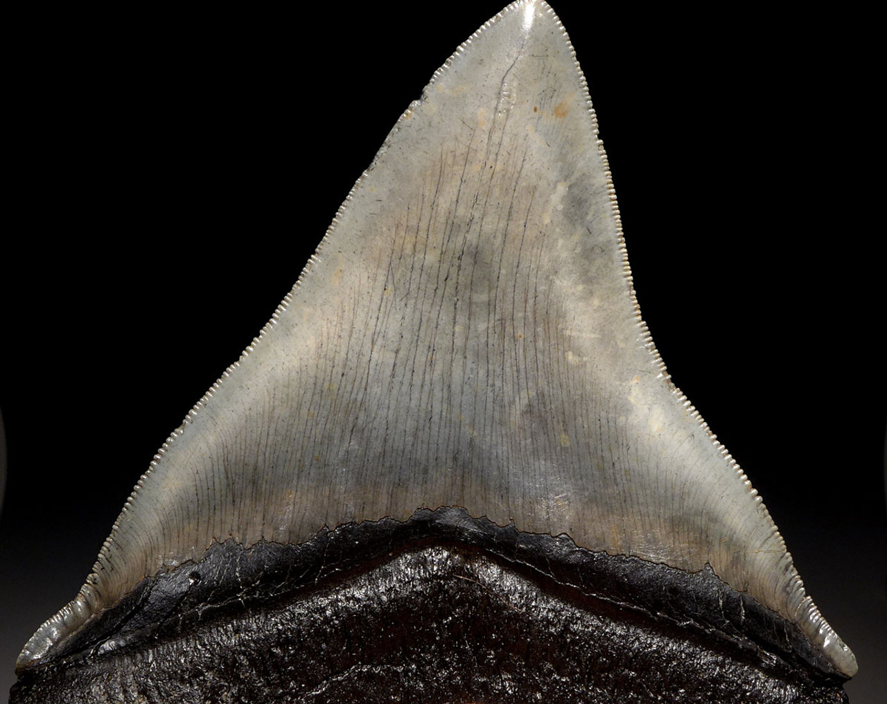 SH6-356 -  LARGE 5.25 INCH MEGALODON SHARK TOOTH WITH STEEL BLUE GRAY ENAMEL