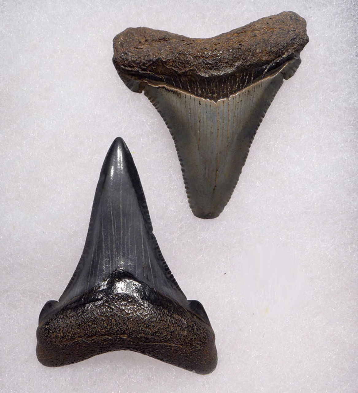 SHX053 - PAIR OF UPPER AND LOWER JAW CARCHAROCLES ANGUSTIDENS FOSSIL SHARK TEETH