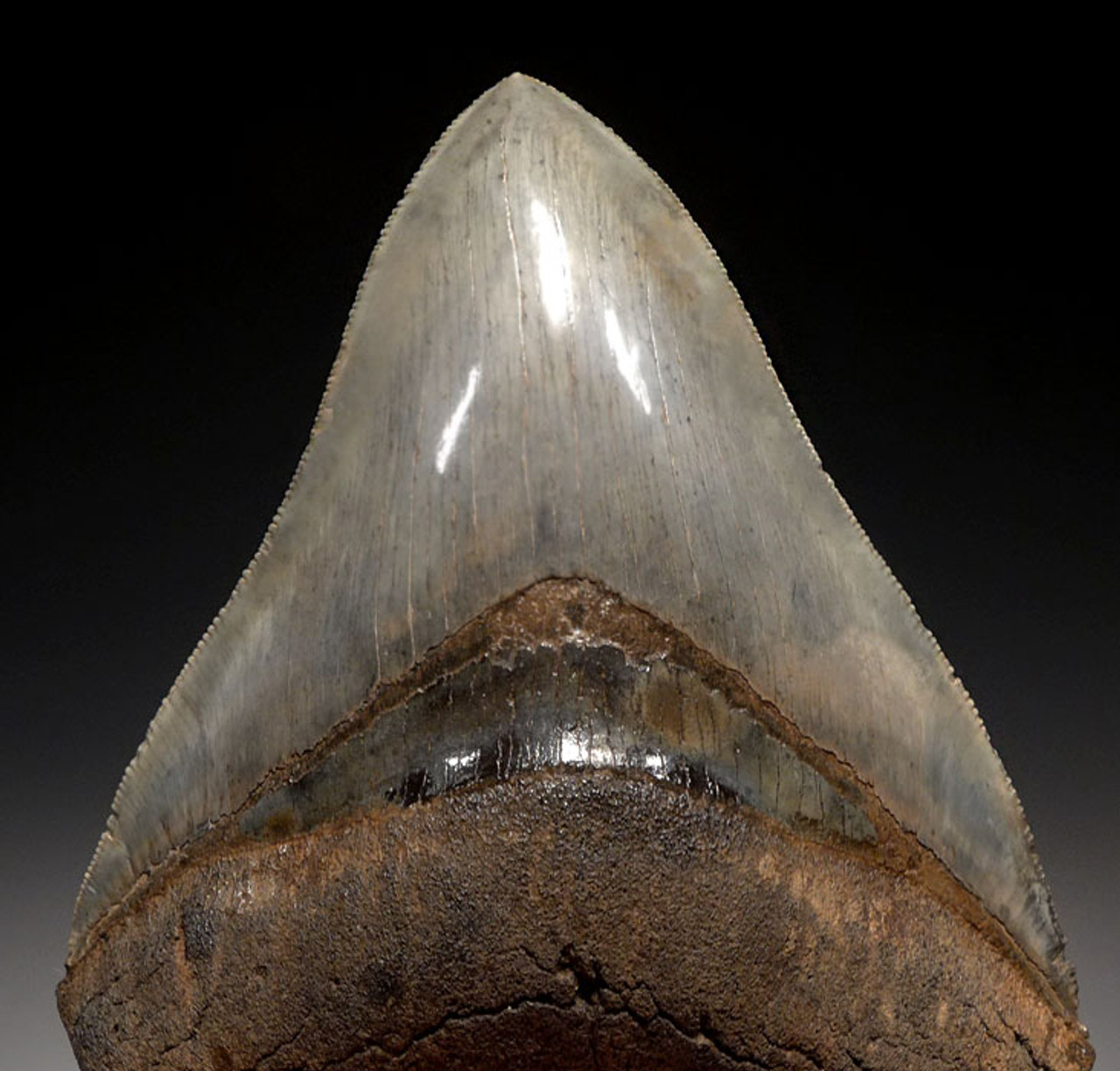 SH6-359 - COLLECTOR GRADE 4.4 INCH MEGALODON SHARK TOOTH WITH MOTTLED SMOKY BLUE GRAY ENAMEL
