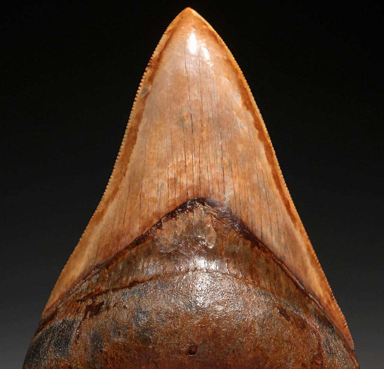 SH6-368 - COLLECTOR GRADE 4 INCH STABBING LOWER JAW MEGALODON SHARK TOOTH WITH MOTTLED SILVERY ORANGE ENAMEL