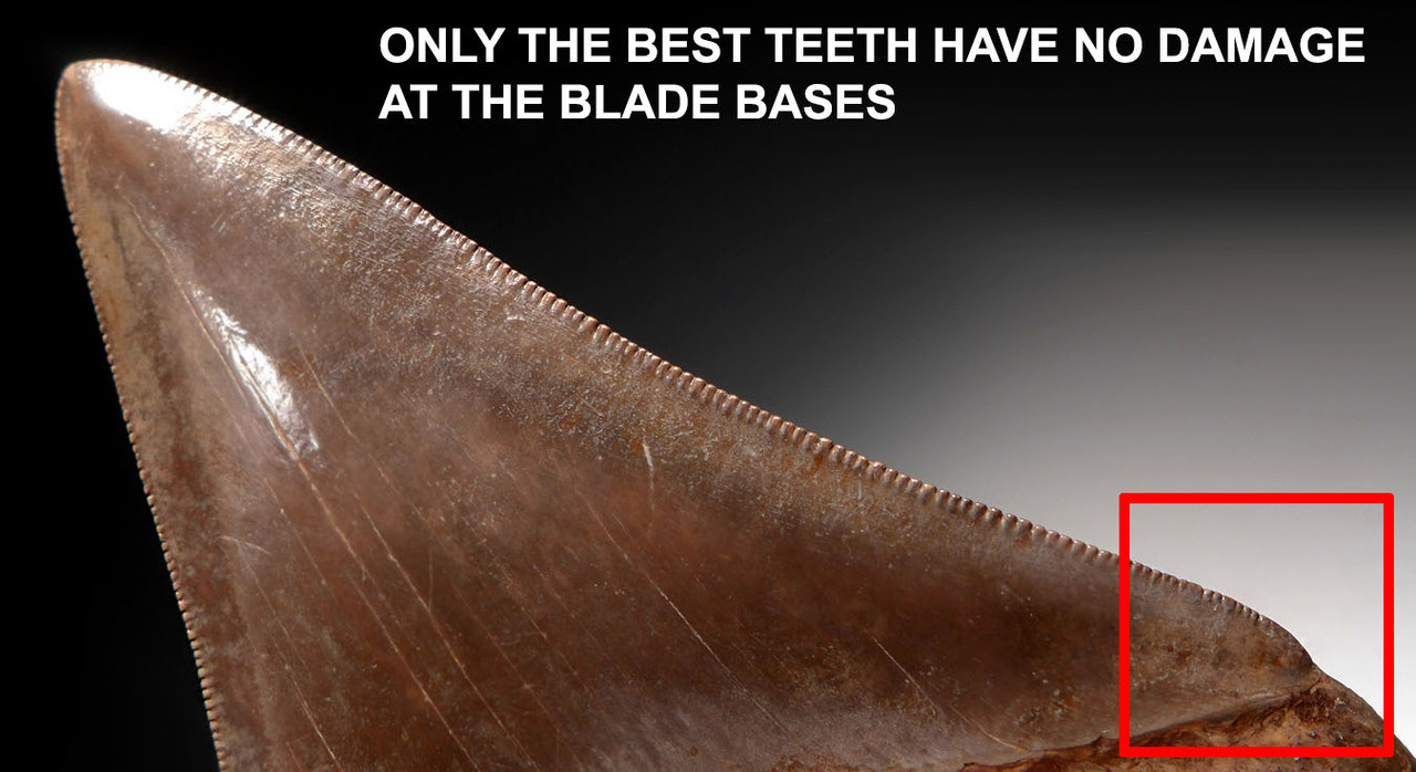 SH6-360 - COLLECTOR GRADE SILVER AND COPPER BROWN 4.3 INCH MEGALODON SHARK TOOTH FROM THE LOWER JAW