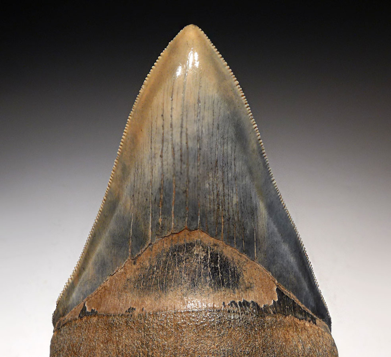 SH6-369 - INVESTMENT GRADE 4.2 INCH MEGALODON SHARK TOOTH WITH BABY BLUE AND GOLD MOTTLED ENAMEL