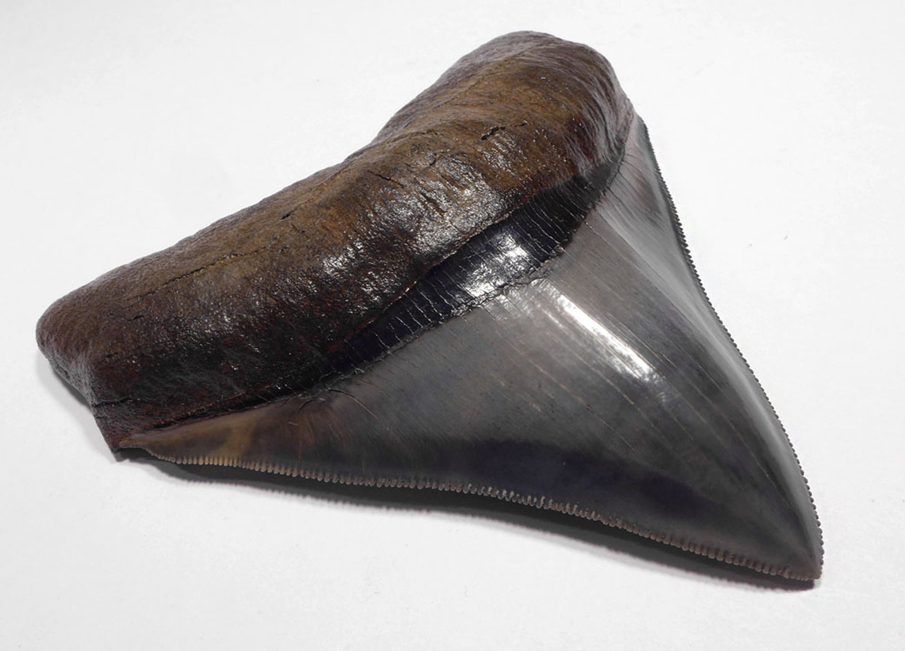 SH6-367 - FINEST GRADE 4.1 INCH POSTERIOR MEGALODON TOOTH WITH BLUE AND CREAM ENAMEL