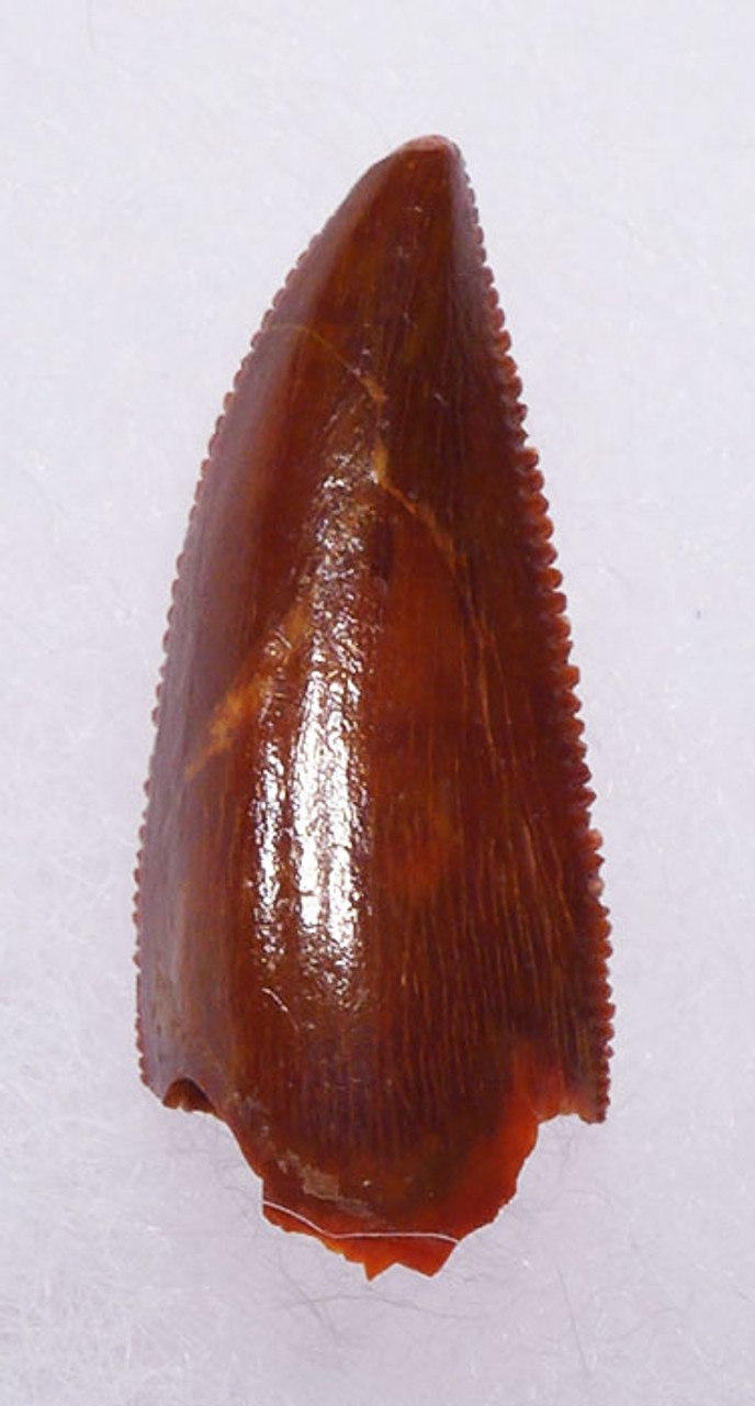 """DT6-267 - FINEST GRADE INTACT DROMAEOSAUR """" RAPTOR """" DINOSAUR TOOTH FROM THE FRONT OF THE JAW"""