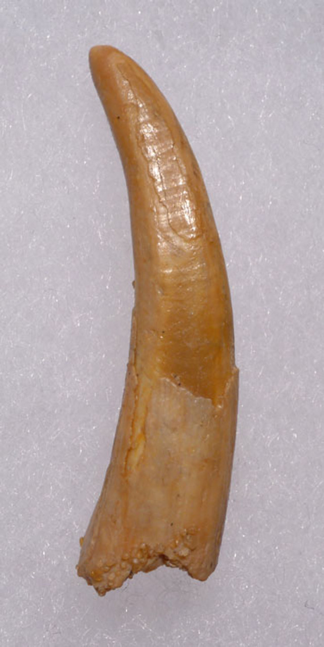 DT4-061 - FINEST GRADE LARGE UNBROKEN PTERODACTYL FLYING PTEROSAUR TOOTH WITH STUNNING GOLDEN COLOR