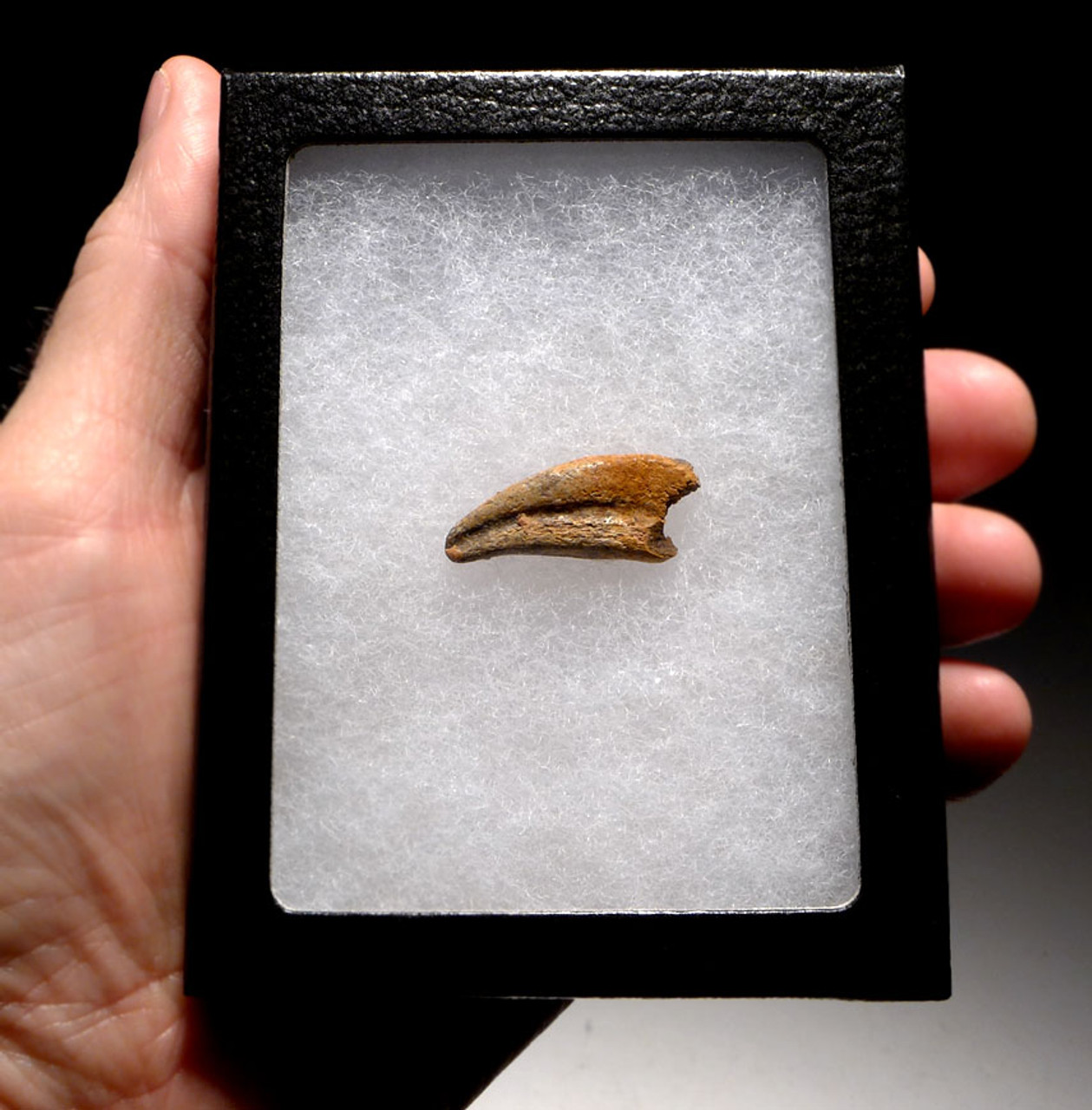 "DC6-100 - INTACT FOSSIL TOE CLAW FROM A ""RAPTOR"" DROMAEOSAUR DINOSAUR"