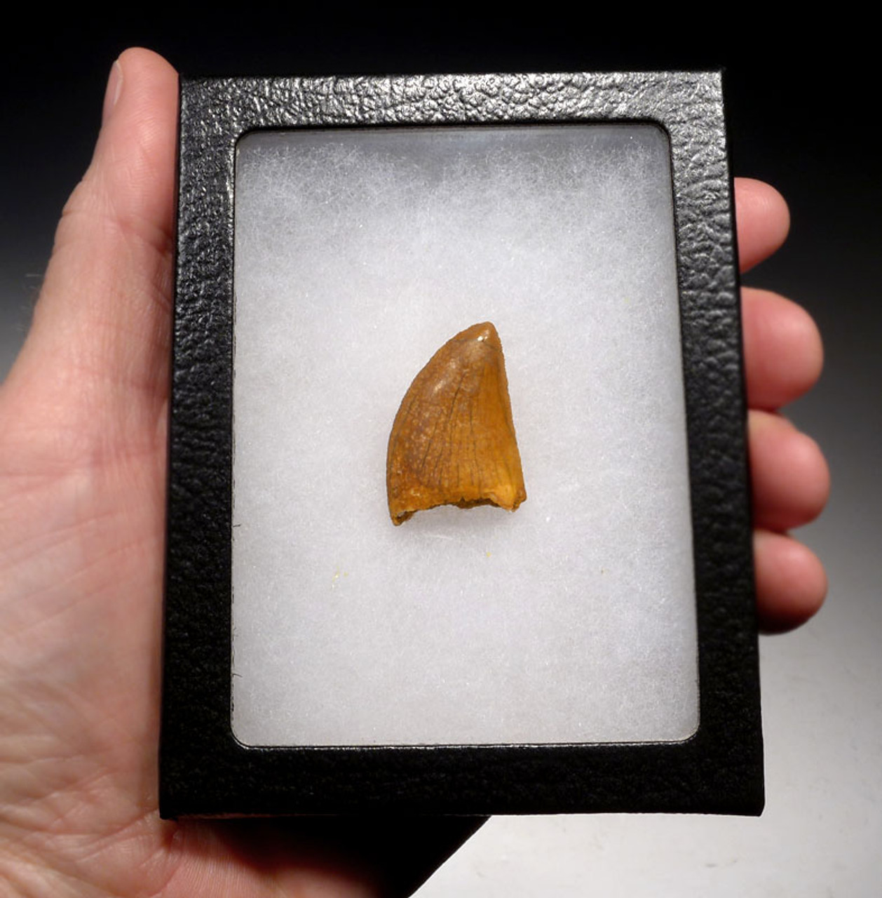 DT2-080 - UNBROKEN CARCHARODONTOSAURUS FOSSIL TOOTH FROM THE LARGEST MEAT-EATING DINOSAUR