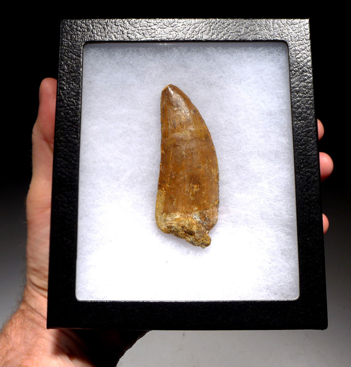 DT2-082 - LARGE 3.7 INCH FOSSIL TOOTH FROM THE LARGEST MEAT-EATING DINOSAUR CARCHARODONTOSAURUS