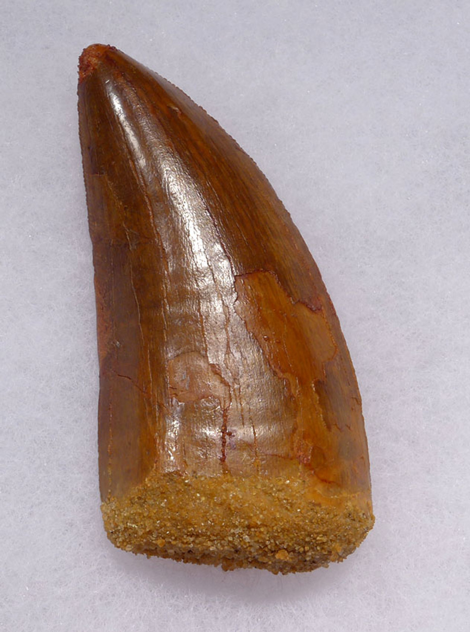 DT2-084 - CHOICE QUALITY UNBROKEN 3.25 INCH CARCHARODONTOSAURUS FOSSIL TOOTH FROM THE LARGEST MEAT-EATING DINOSAUR