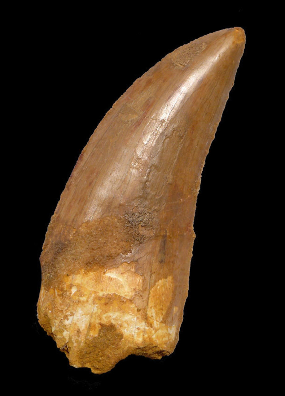 DT2-083 - HUGE 4 INCH CARCHARODONTOSAURUS FOSSIL TOOTH FROM THE LARGEST MEAT-EATING DINOSAUR