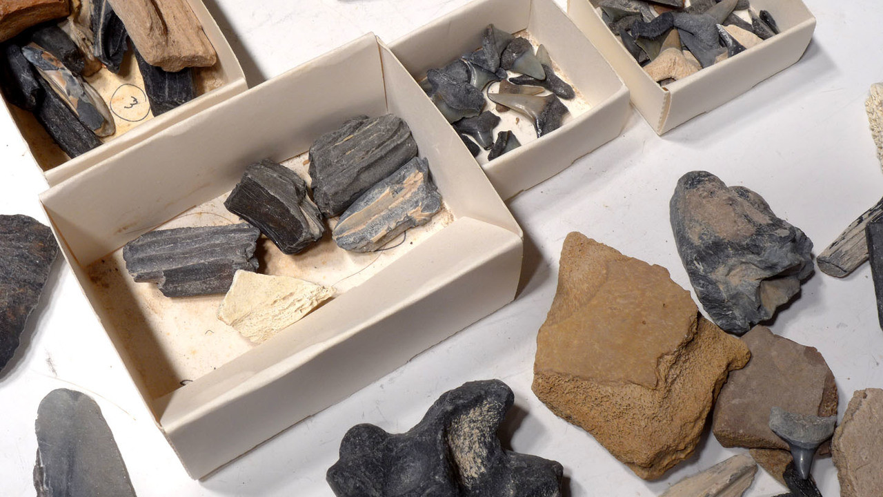 BONV001 - COLLECTION OF NUMEROUS SHARK AND OTHER VERTEBRATE FOSSILS FROM THE FAMOUS BONE VALLEY FORMATION PHOSPHATE DEPOSITS