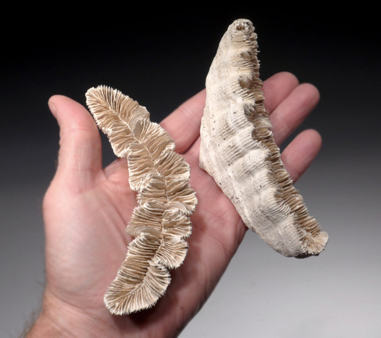 COR122 - FOSSILIZED PAIR OF JUVENILE PREHISTORIC ROSE CORAL COLONIES