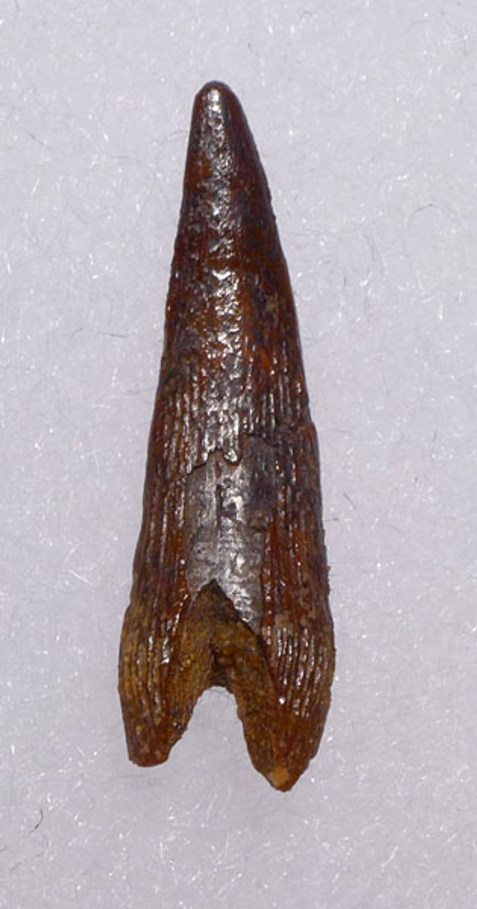 DT4-048 - FINEST GRADE CRETACEOUS PTERODACTYL FLYING REPTILE TOOTH