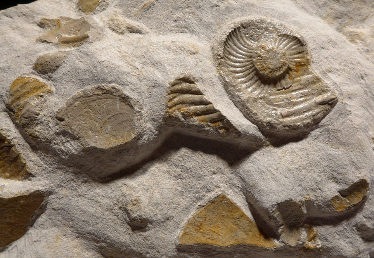 AMX380 - MASS EXTINCTION JURASSIC SEA LIFE FOSSIL WITH AMMONITES