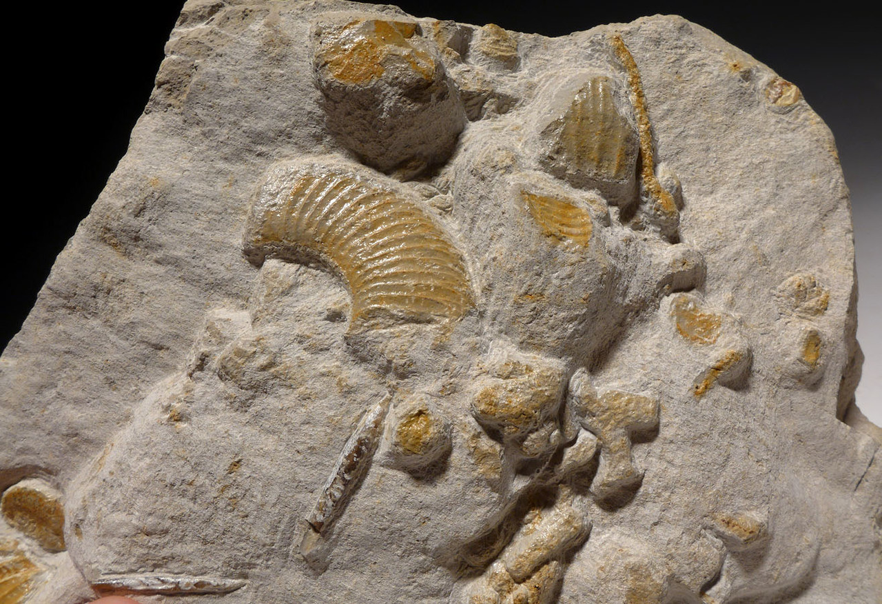 AMX373 - MASS EXTINCTION JURASSIC SEA LIFE FOSSIL WITH AMMONITES, CLAMS AND BELEMNITES