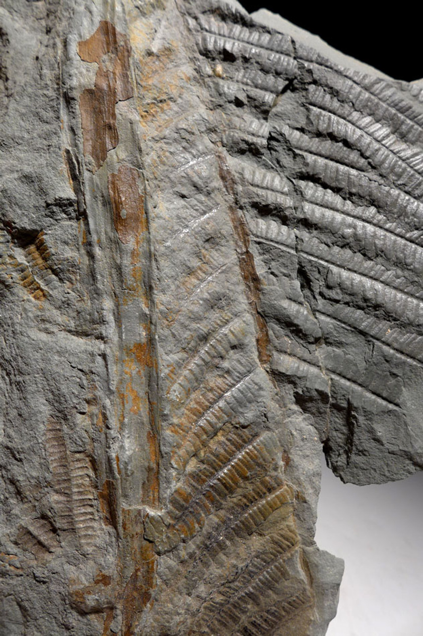 PL1599 - PREHISTORIC PERMIAN GIANT TREE FERN PECOPTERIS FOSSIL FROM FAMOUS CLOSED SITE IN GERMANY