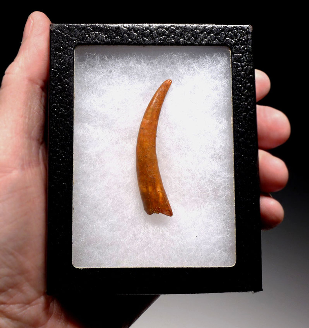DT4-093 - OUR LARGEST EVER FINEST GRADE 2.5 INCH UNBROKEN PTERODACTYL PTEROSAUR TOOTH