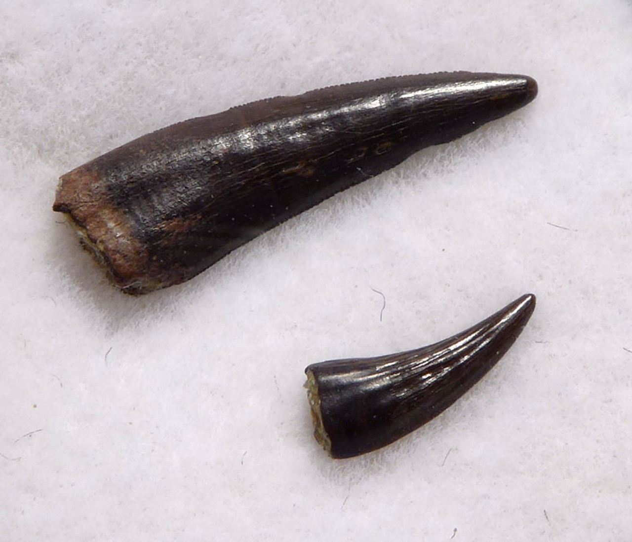 "DT6-276 - TWO RICHARDOESTESIA AND PARONYCHODON DROMAEOSAUR ""RAPTOR"" DINOSAUR TEETH"
