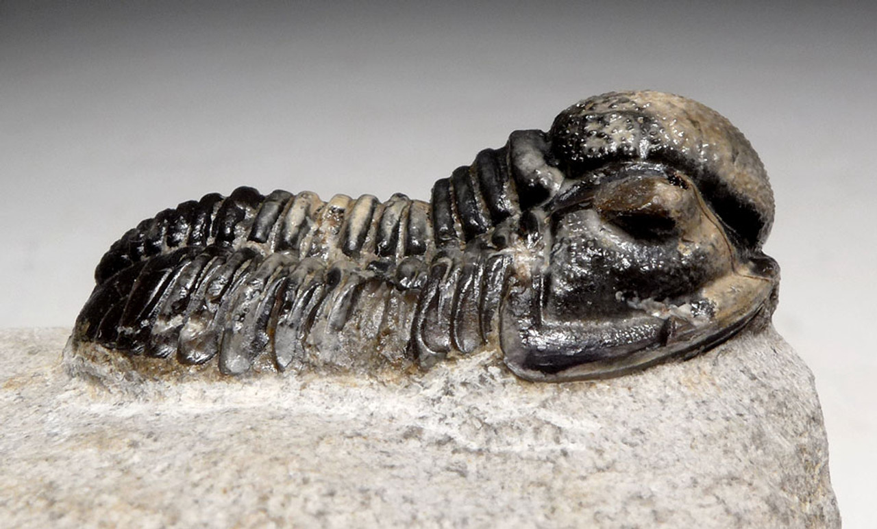 TRX477 - CHOICE GRADE LARGE PROETUS TRILOBITE FOSSIL WITH UNIQUE TWO-TONE COLOR