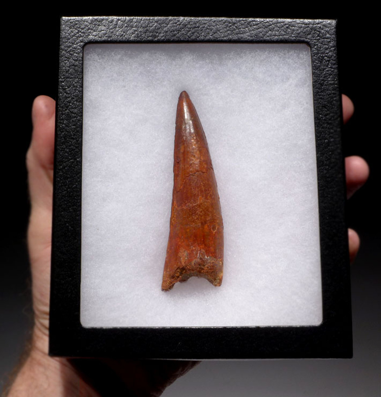 DT5-144 - EXTREMELY RARE CHOICE GRADE 4 INCH SPINOSAURUS DINOSAUR TOOTH WITH SHARP TIP
