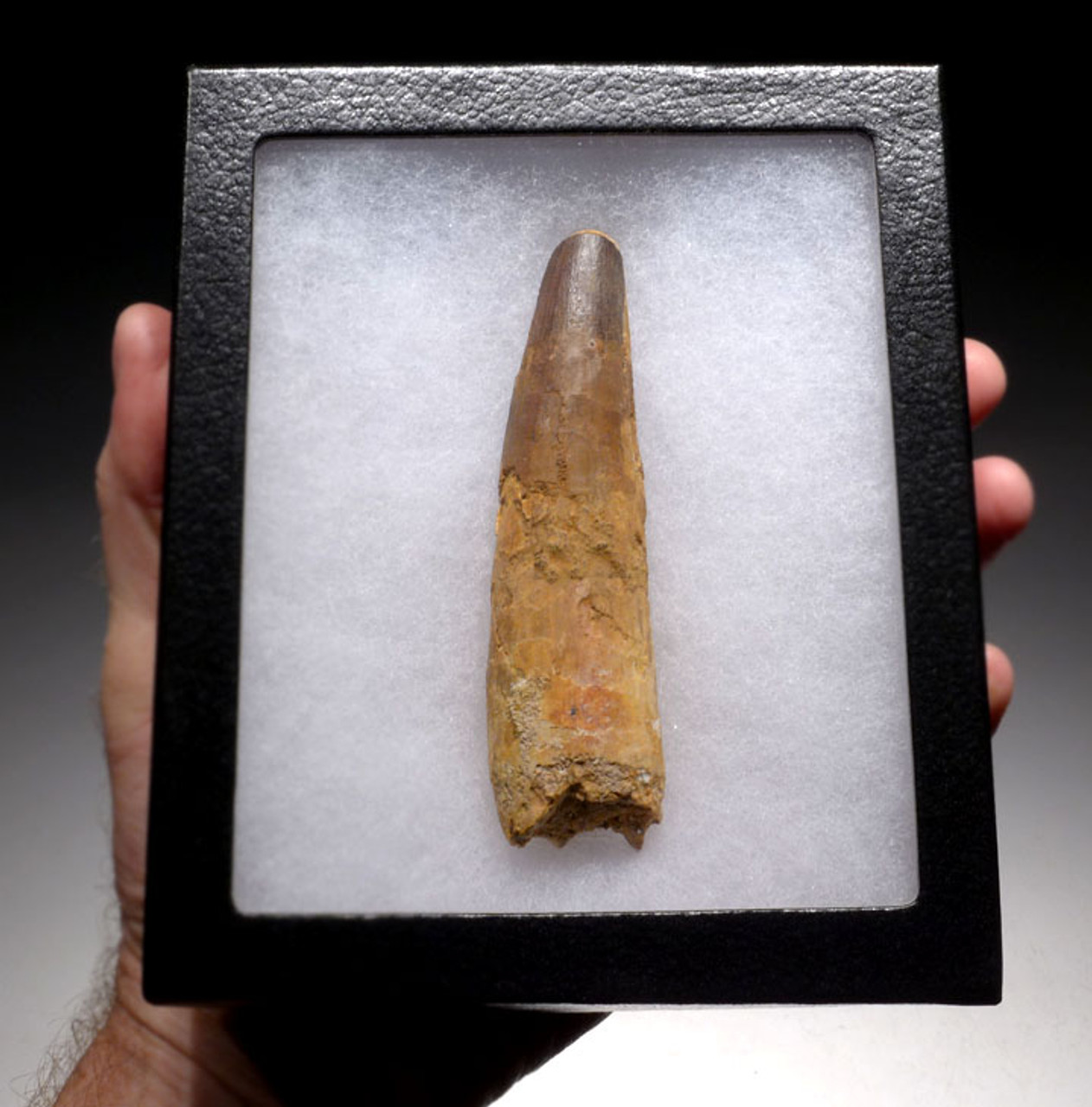 DT5-145 - RARE 4.5 INCH SPINOSAURUS DINOSAUR TOOTH WITH NATURAL FEEDING WEAR