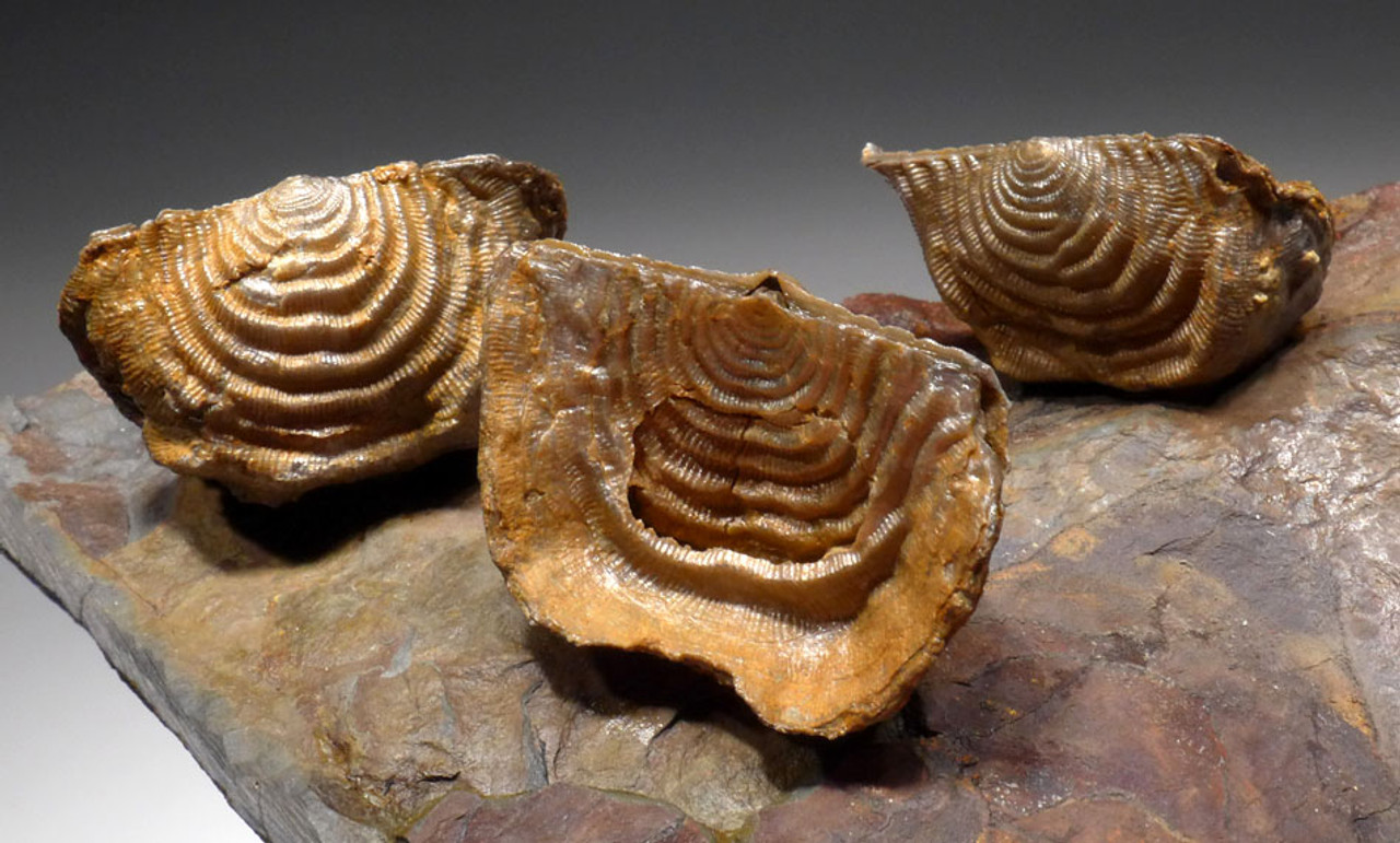BR013 - LARGE SUPERBLY PRESERVED LEPTAENA DEVONIAN BRACHIOPODS FOSSIL FROM EUROPE
