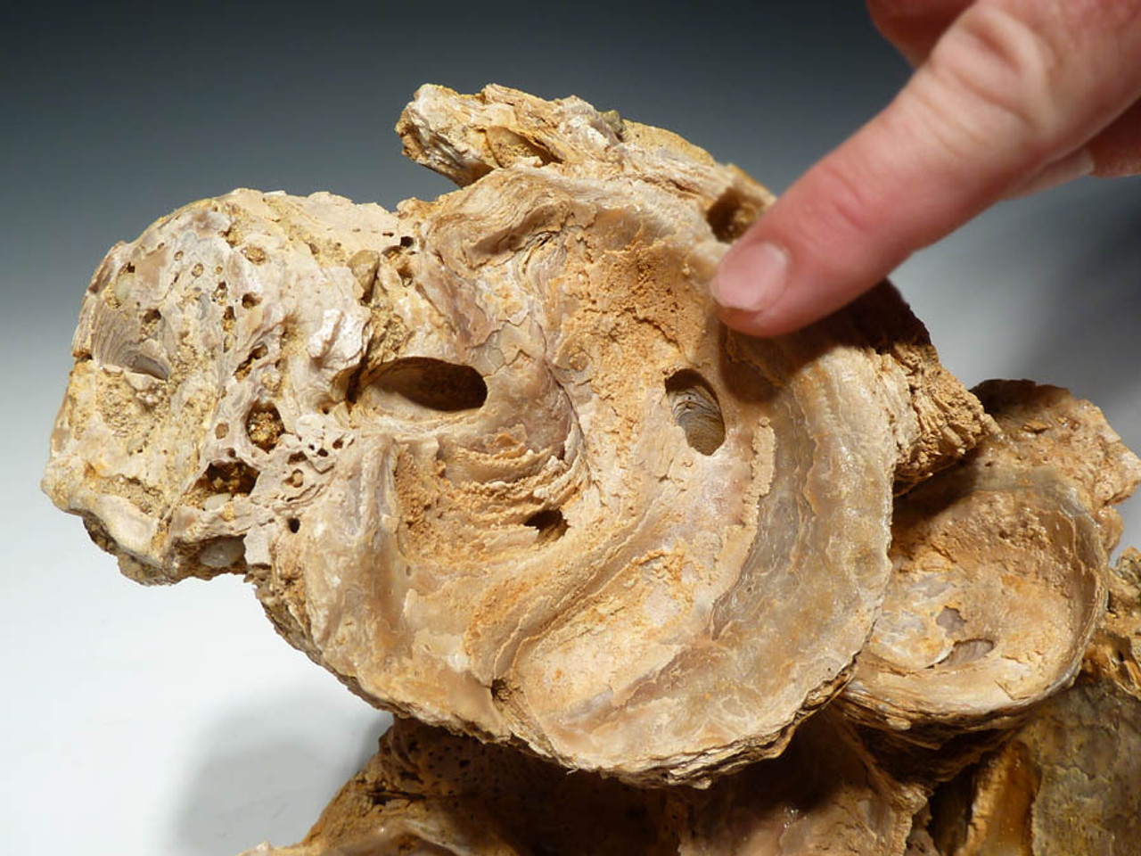 BIV-018 - PREHISTORIC OYSTER BED FOSSIL FROM THE OLIGOCENE PERIOD OF GERMANY