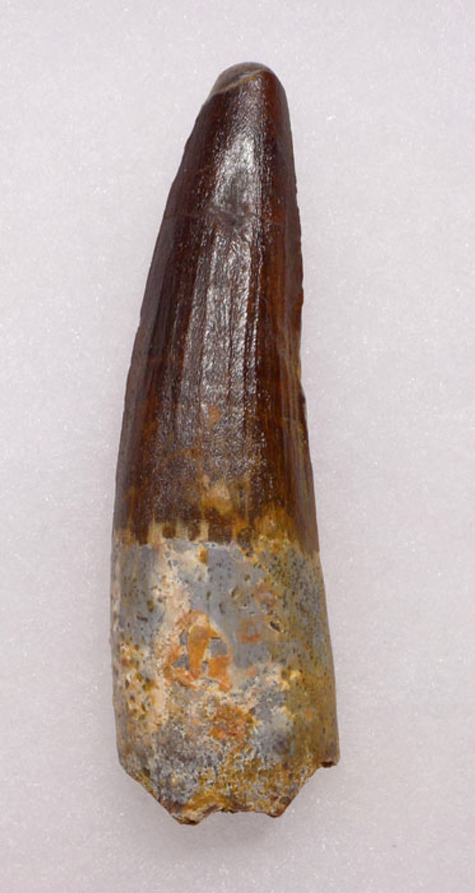 DT5-147 - 3.25 INCH CHOICE QUALITY SPINOSAURUS DINOSAUR TOOTH WITH STUNNING COLORS