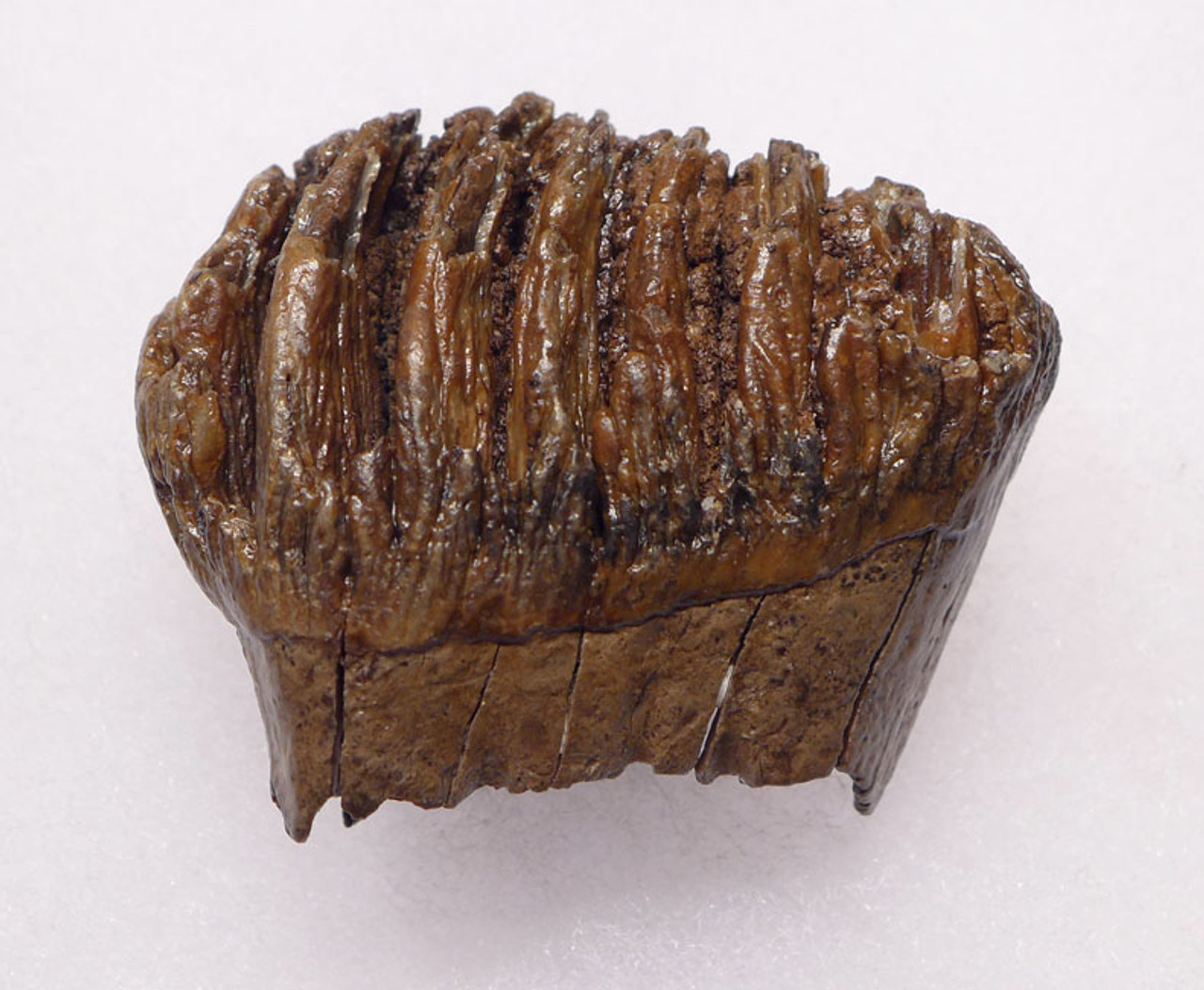 MTB002 - EXTREMELY RARE BABY CALF SOUTHERN MERIDIONALIS MAMMOTH TOOTH FROM EUROPE