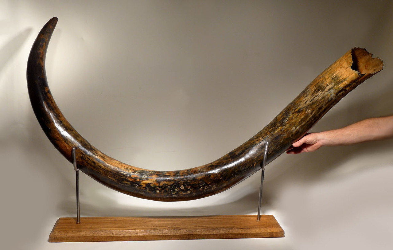 MT031 - NEARLY 8 FOOT GIANT INVESTMENT-CLASS WOOLLY MAMMOTH TUSK FROM EUROPE