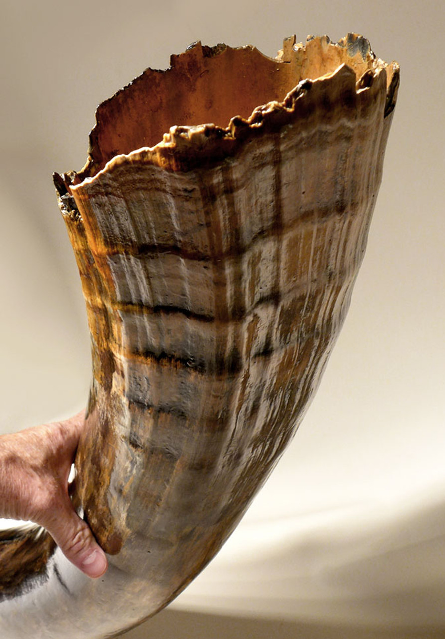 """The presence of this thin-walled hollow end shows this is a complete tusk.  This unusual and dramatically ridged portion was the part of the tusk that was embedded inside the skull as the tusk grew.  Only tusks offered for sale as """"complete"""" have this feature."""