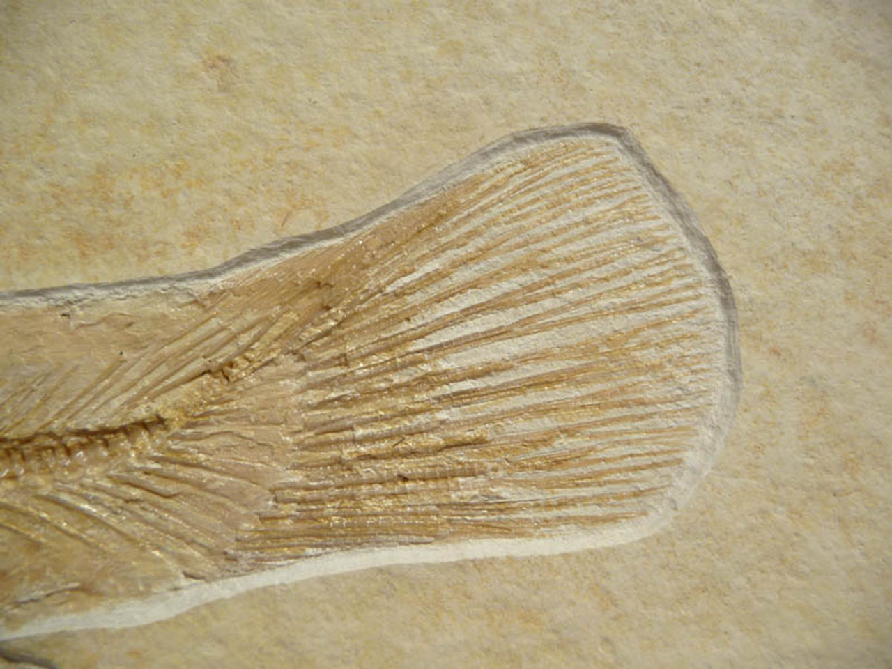 "F063 - INCREDIBLE NATURAL ""FISHING SCENE"" FISH FOSSIL FEATURING A  RARE JURASSIC BOWFIN FROM FAMOUS SOLNHOFEN DEPOSITS"