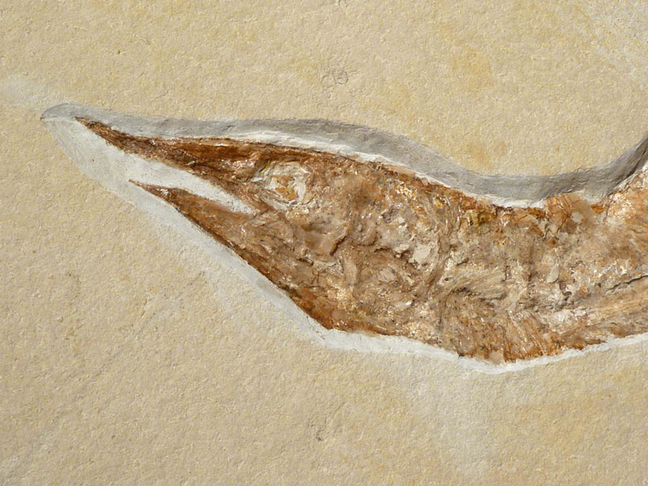 F084 - AESTHETIC AND COLORFUL ASPIDORHYNCHUS JURASSIC FOSSIL FISH FROM SOLNHOFEN GERMANY