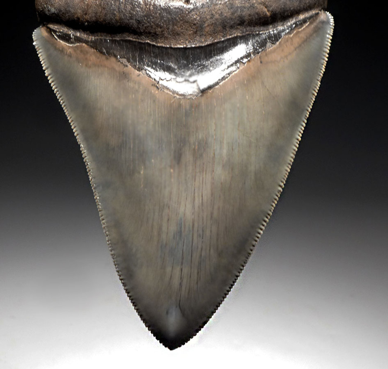 SH6-370 - INVESTMENT GRADE 4 INCH WARM BLUE-SILVER MEGALODON SHARK TOOTH