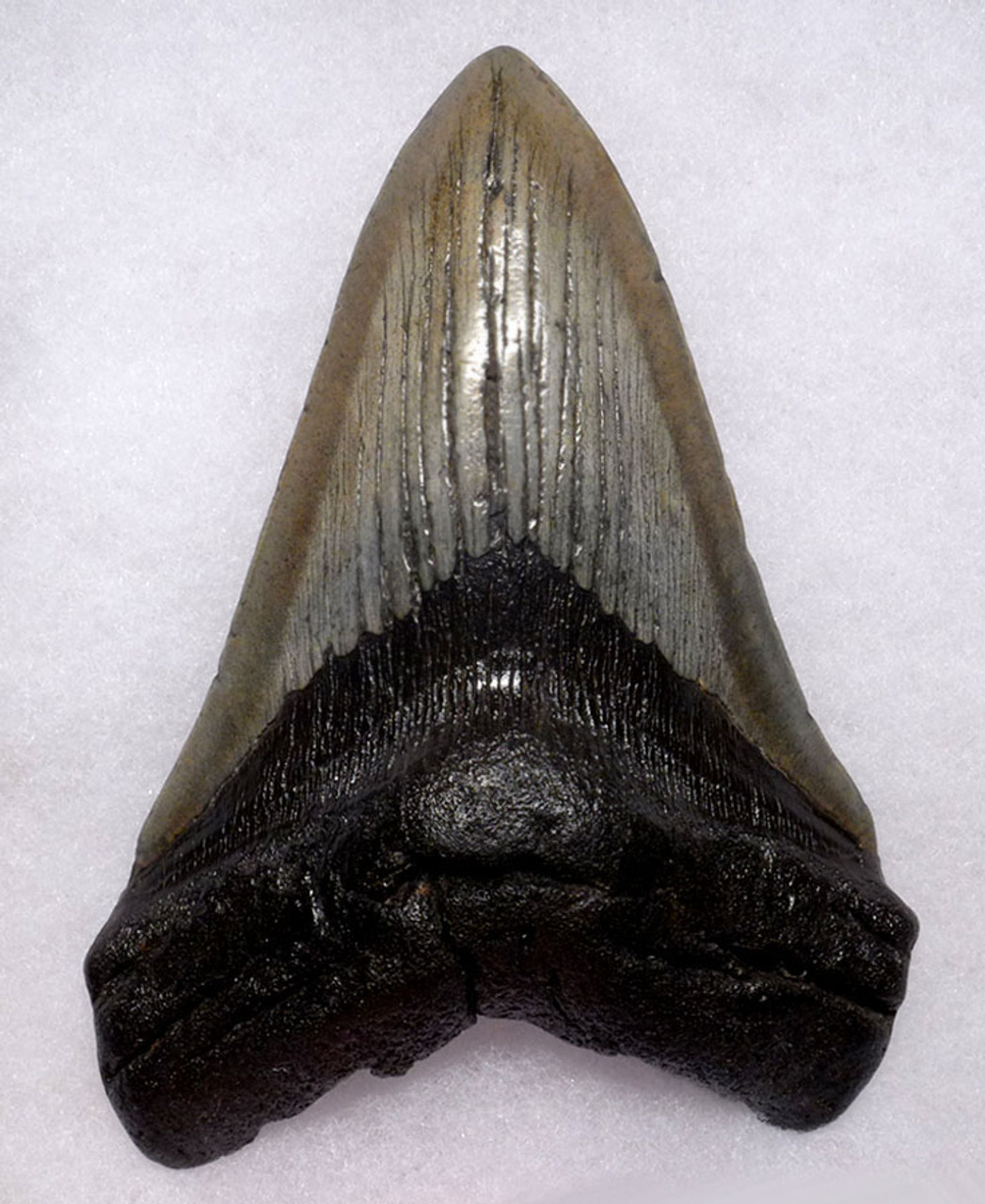 SH6-371 - UNRESTORED GIANT 6.1 INCH MEGALODON SHARK LOWER JAW TOOTH