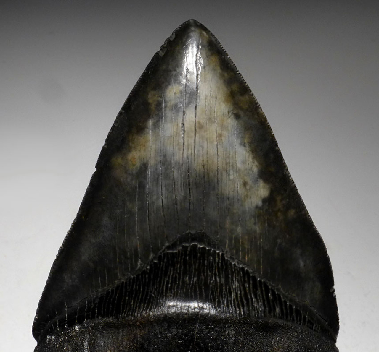 SH6-374 -  MONSTROUS UNRESTORED 6 INCH MEGALODON SHARK TOOTH WITH MIDNIGHT BLACK AND BRONZE MOTTLED ENAMEL