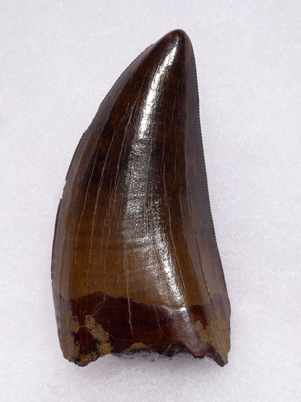 DT18-115 - ULTRA RARE 2.75 INCH INVESTMENT GRADE TYRANNOSAURUS REX TOOTH WITH NO REPAIR