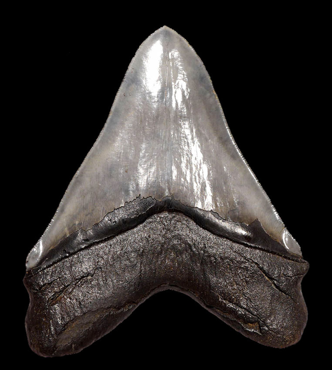 SH6-350 -  UNRESTORED INVESTMENT CLASS 6 INCH MEGALODON SHARK TOOTH