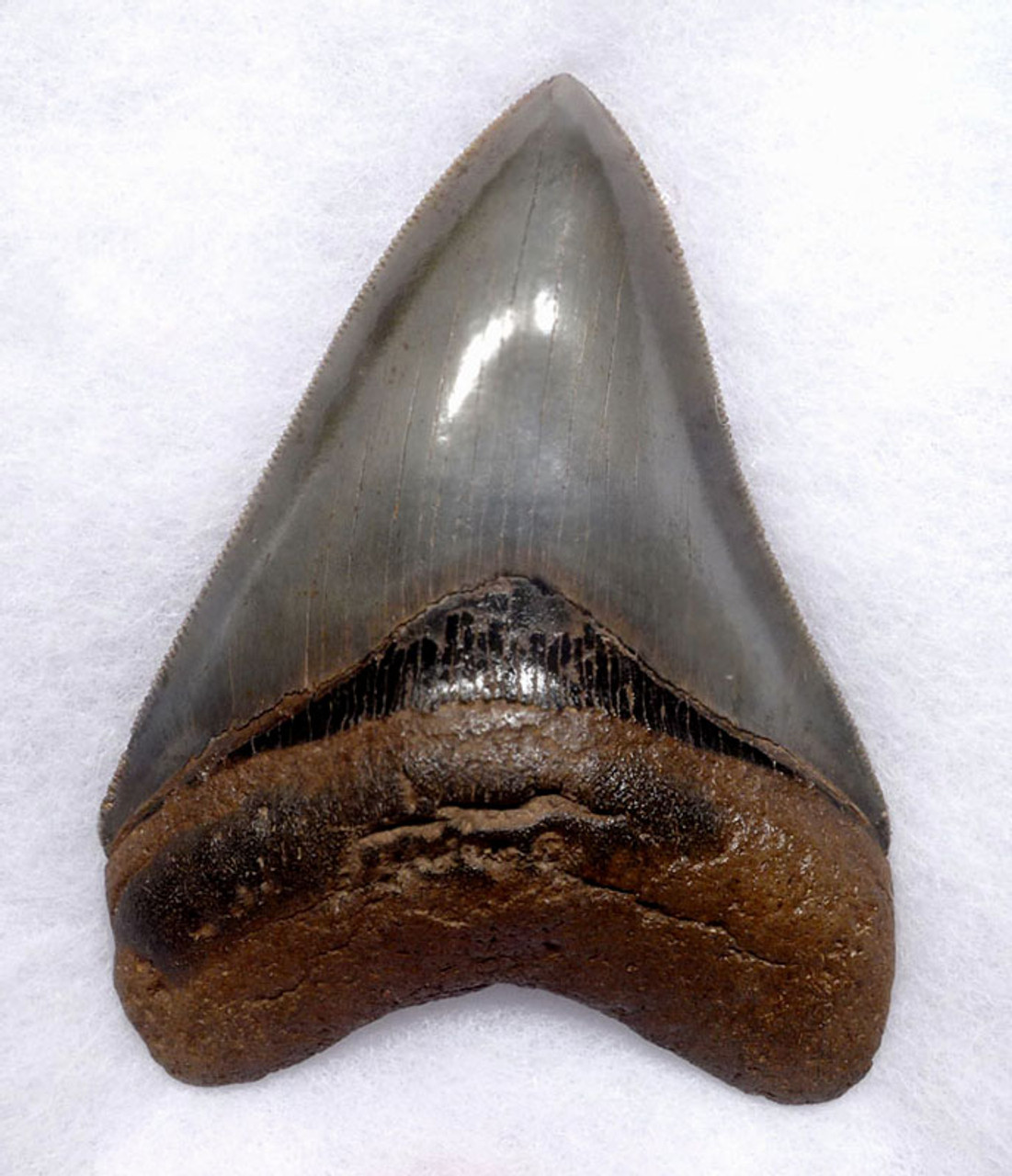 SH6-387 - COLLECTOR GRADE 4.25 INCH MEGALODON SHARK TOOTH WITH CHATOYANT SILVER ENAMEL