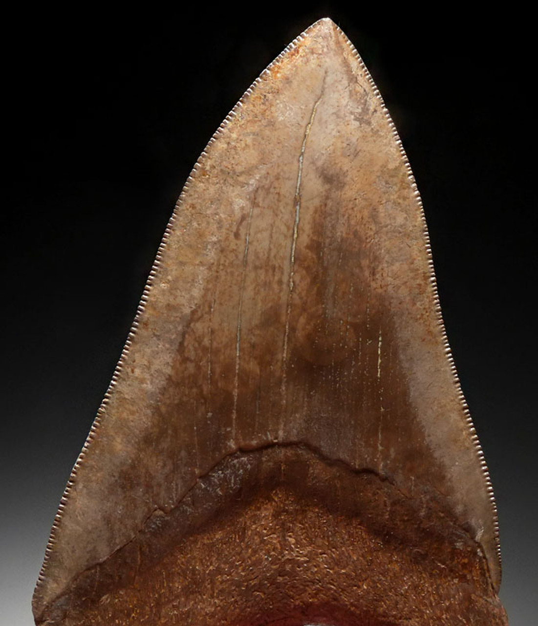 SH6-383 - COLLECTOR GRADE 4.25 INCH IVORY AND COPPER MEGALODON SHARK TOOTH FROM THE LOWER JAW WITH ST MARYS RIVER OPEN SPOTTING