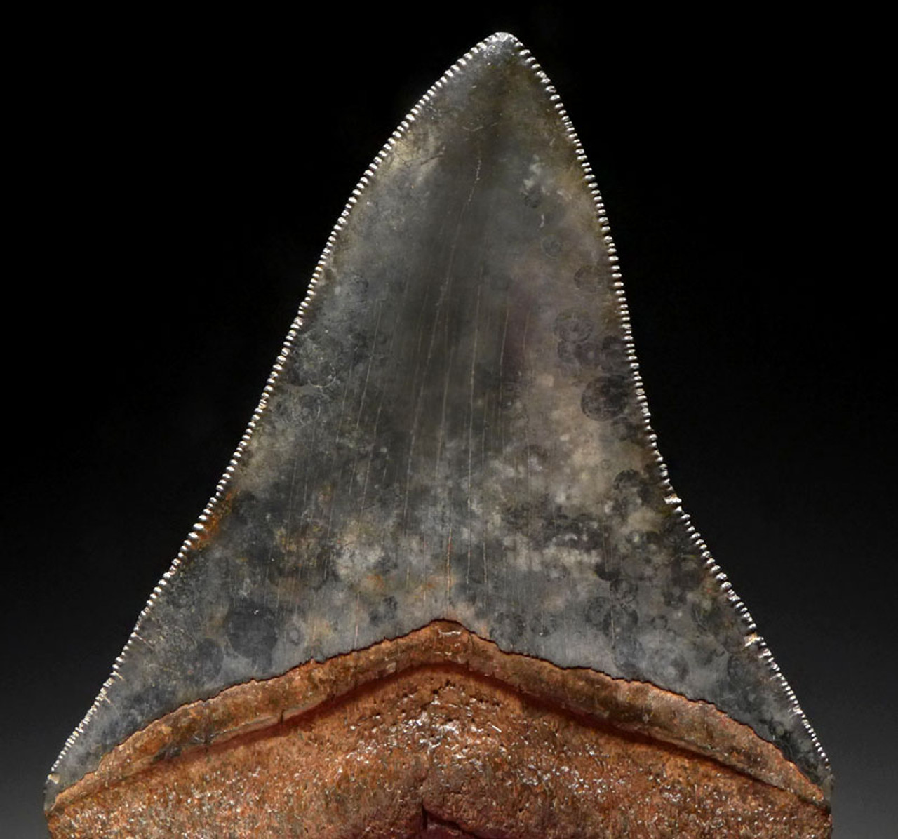 SH6-386 - COLLECTOR GRADE 4 INCH MEGALODON SHARK TOOTH WITH RARE SPOTTED AND MARBLED BLUE GRAY ENAMEL
