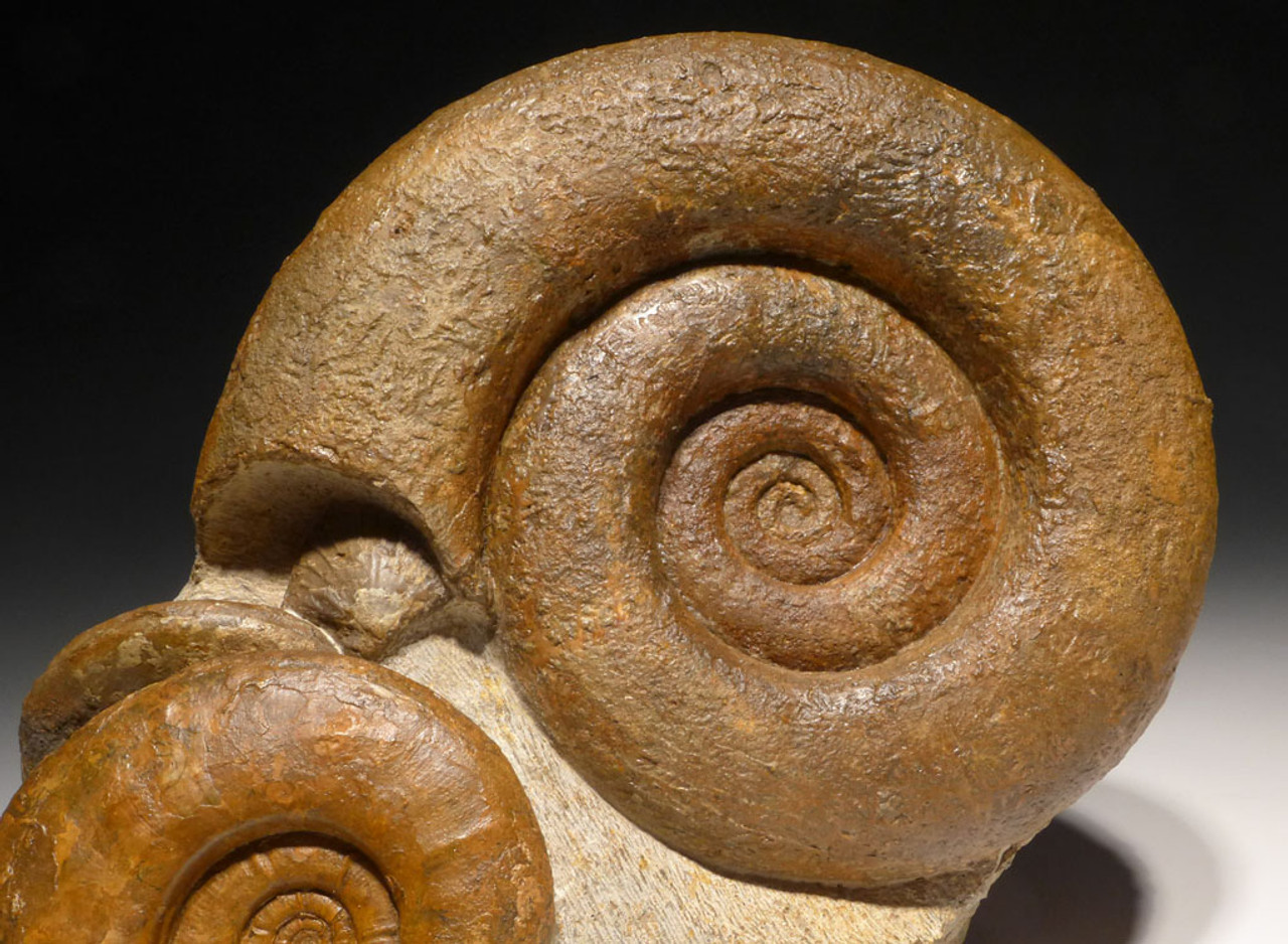 AMX349 - SHOWPIECE PREHISTORIC AMMONITES AND SHELL SEA LIFE CLUSTER FROM THE JURASSIC