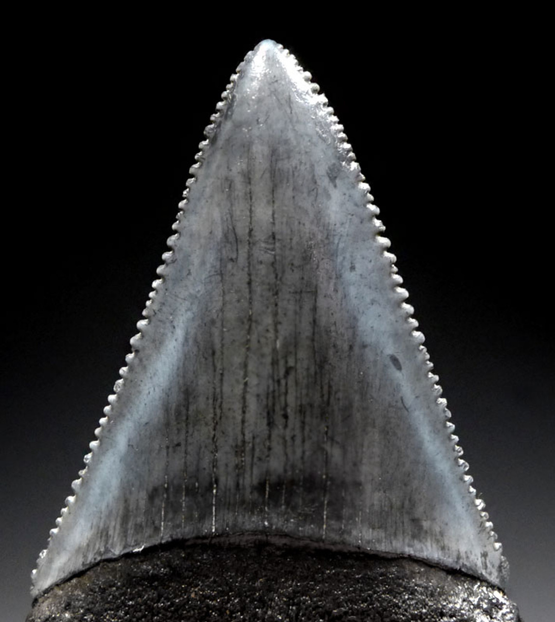 SHX056 - FINE QUALITY LARGE 2.15 INCH GREAT WHITE FOSSIL SHARK CARCHARIAS TOOTH