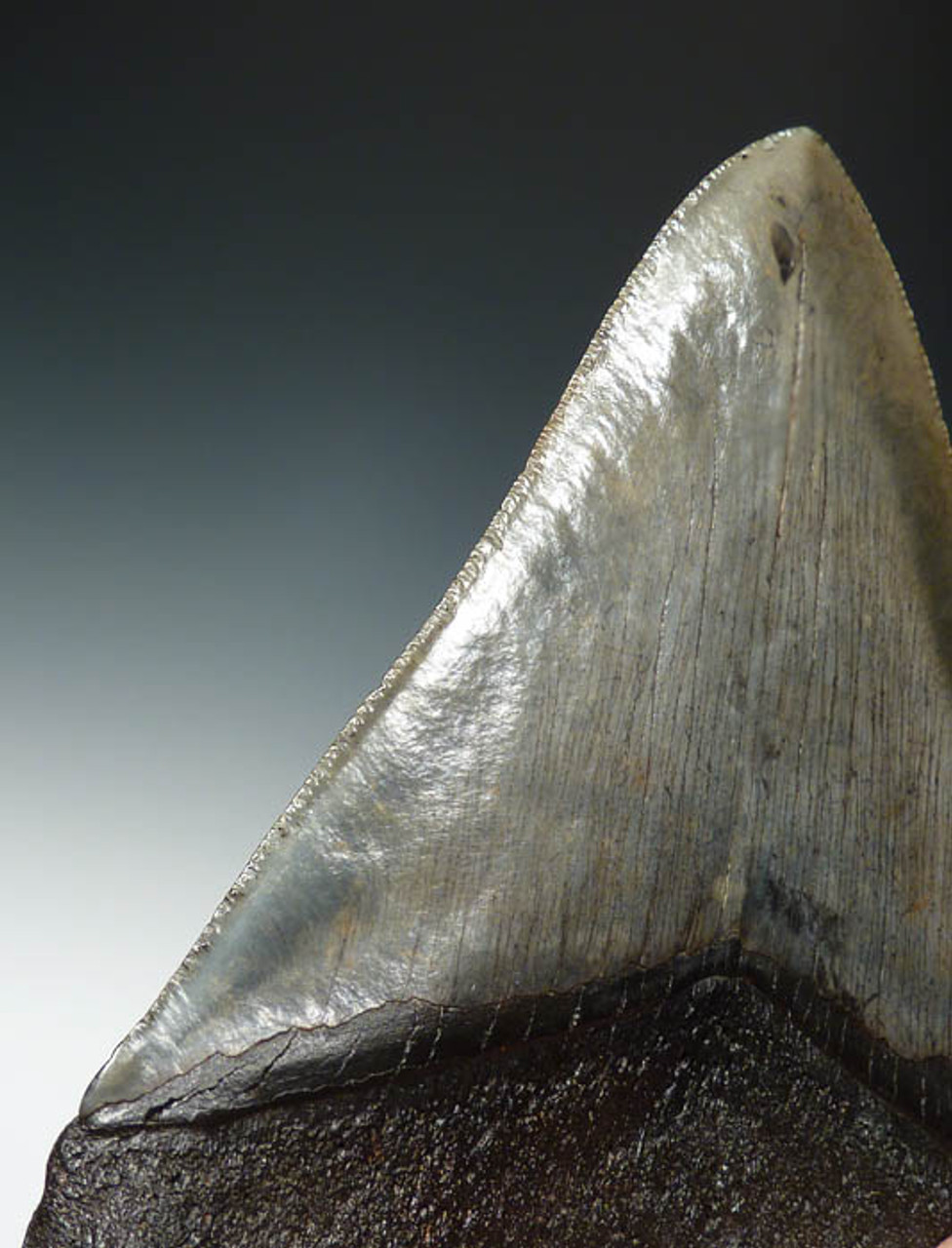 SH6-198 - COLLECTOR GRADE 5.25 INCH MEGALODON SHARK FOSSIL TOOTH
