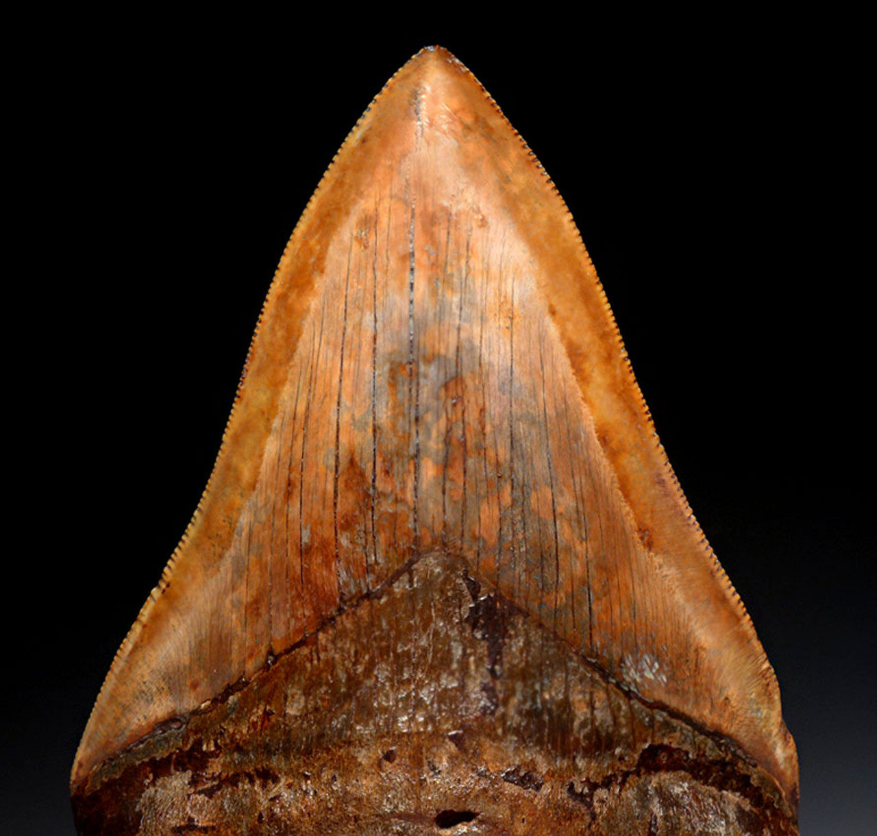 SH6-393 - SUPREME COLLECTOR GRADE COPPER RED 4.25 INCH MEGALODON FOSSIL SHARK TOOTH