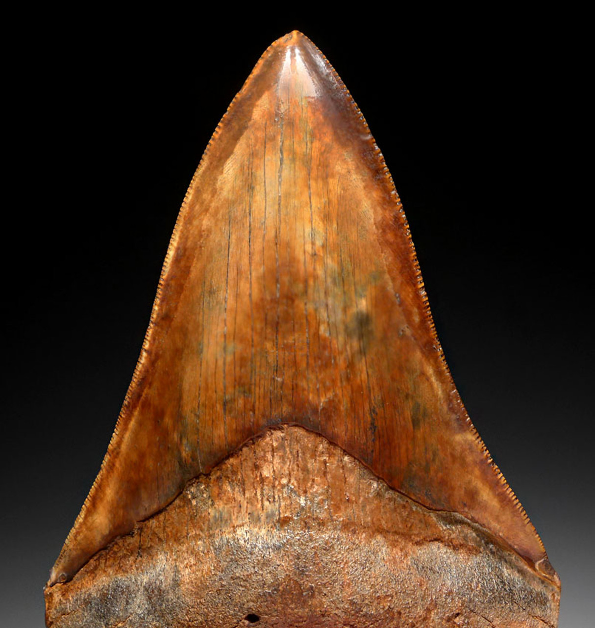 SH6-394 - SUPREME COLLECTOR GRADE LOWER JAW COPPER RED 4.15 INCH MEGALODON FOSSIL SHARK TOOTH