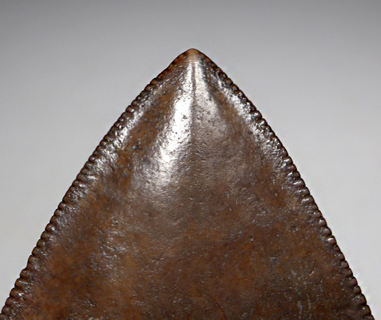 SH6-395 - CHOICE COLLECTOR GRADE 4.25 INCH MEGALODON SHARK TOOTH WITH MOTTLED  COPPER BROWN AND SILVER ENAMEL