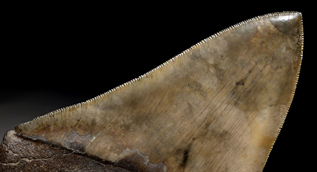 SH6-391 -  INVESTMENT CLASS BRONZE GOLD 6 INCH MEGALODON SHARK TOOTH CHATOYANT ENAMEL AND NO REPAIR OR RESTORATION