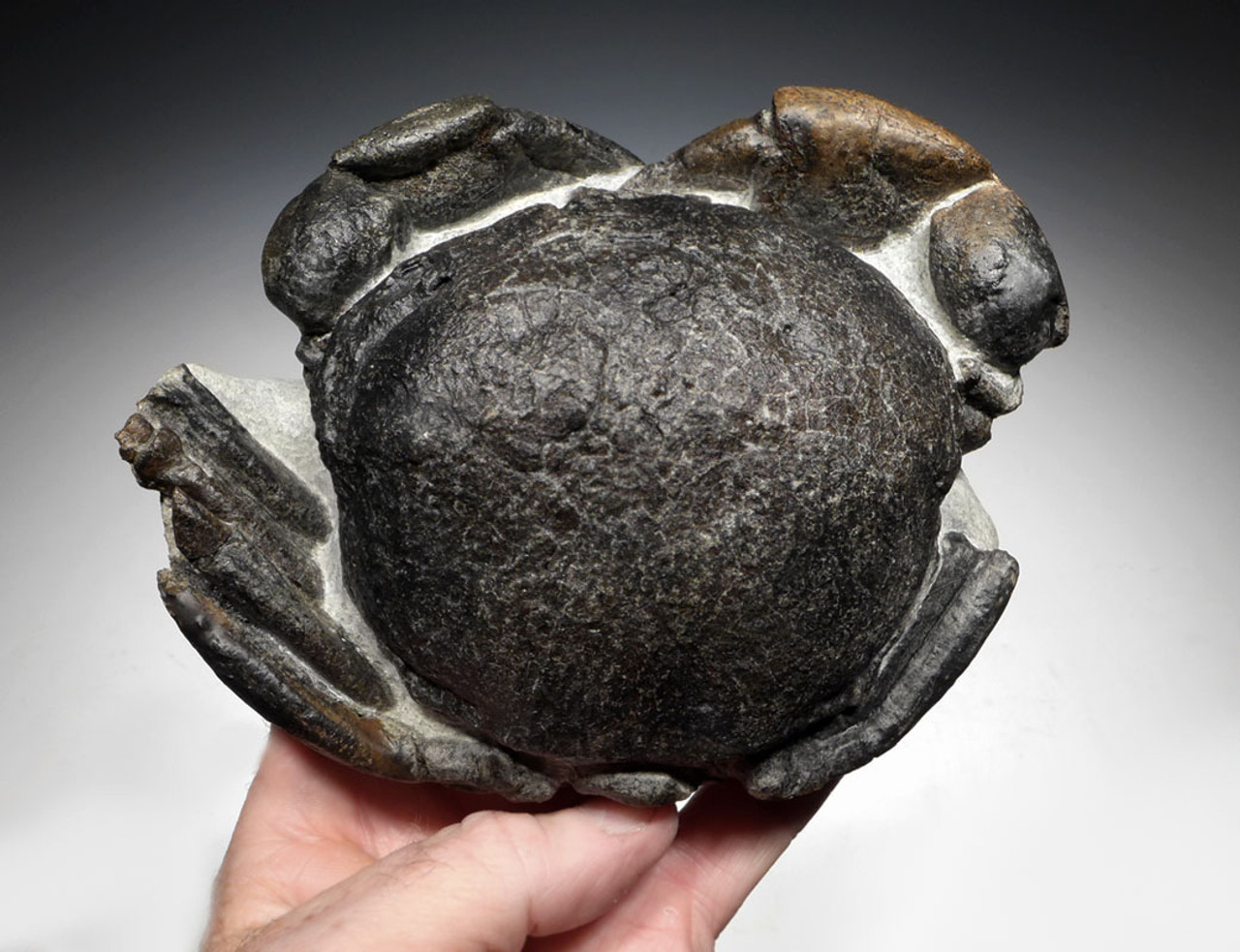 CRUS039 - LARGE FOSSIL STONE CRAB TUMIDOCARCINUS GIGANTEUS FROM THE MIOCENE OF NEW ZEALAND